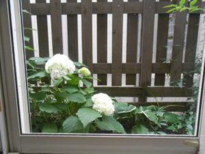 窓からのアナベル
